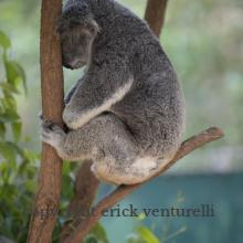 Lone Pine Koala Sanctuary - Bisbane (43750)