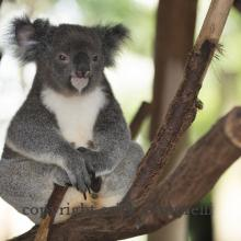 Lone Pine Koala Sanctuary - Bisbane (44055)