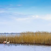 Flamants roses - Camargue (4496)